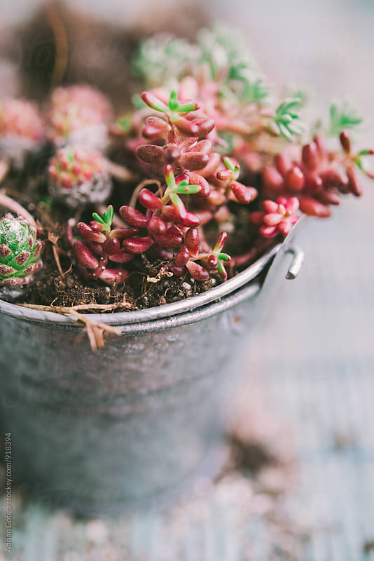Small  succulents in a little pot. on a blue background by Adrian Cotiga for Stocksy United