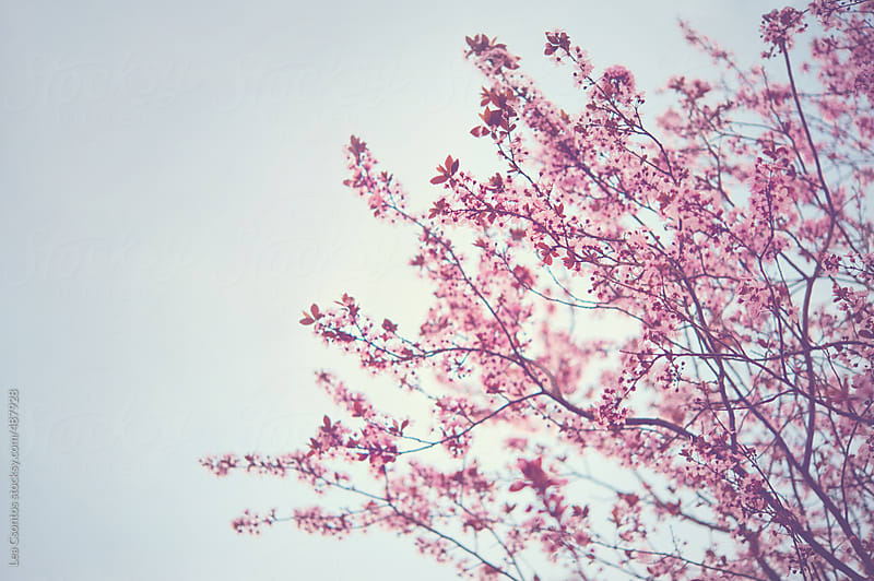 Beautiful wild cherry tree branches against sunny sky in spring by Lea Csontos for Stocksy United