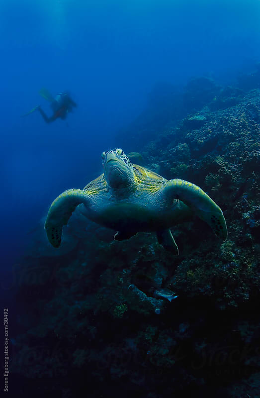 Green Sea turtle swimming underwater and scuba diver in background by Soren Egeberg for Stocksy United