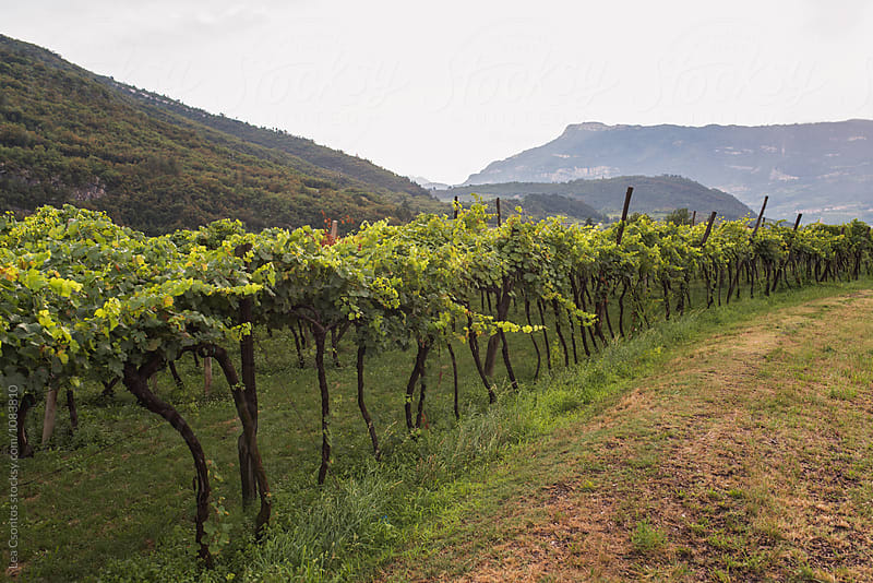 Rows of grapes in Italy by Lea Csontos for Stocksy United
