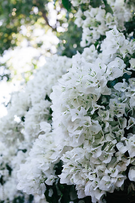 A white bougainvillea plant with an abundance of flowers by Jacqui Miller for Stocksy United