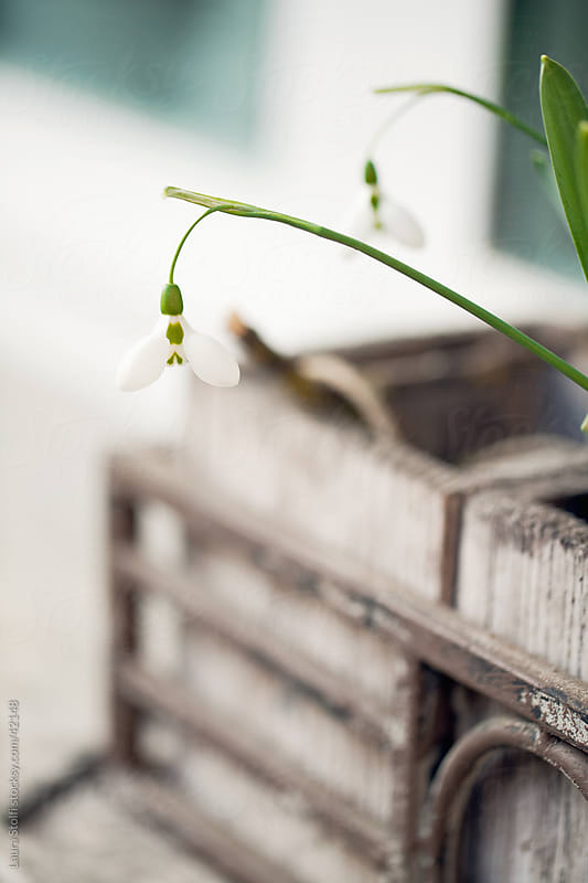 Snowdrops in wooden vase on window sill in garden by Laura Stolfi for Stocksy United