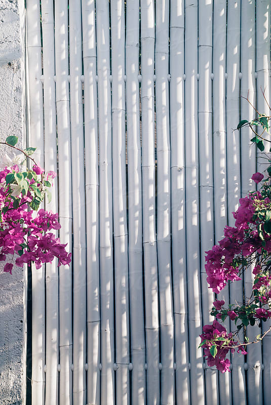 Simple, stylish bamboo wooden fence painted in white with the pink flowers around by Wizemark for Stocksy United