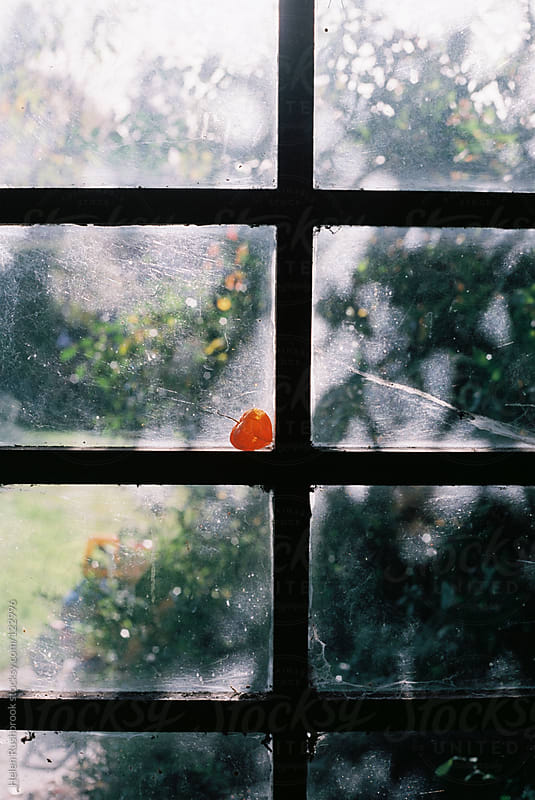 A physalis flower against a window pane. by Helen Rushbrook for Stocksy United