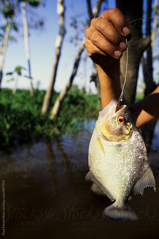 Man holding caught Piranha fish,  along a small tributary of the Amazon River, Brazil  by Paul Edmondson for Stocksy United