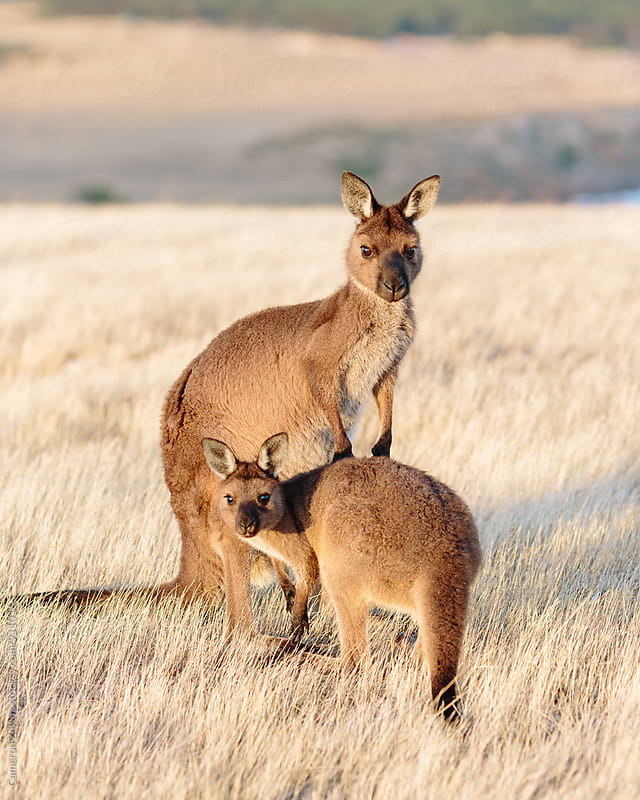 Mother and Joey Kangaroo by Cameron Zegers for Stocksy United
