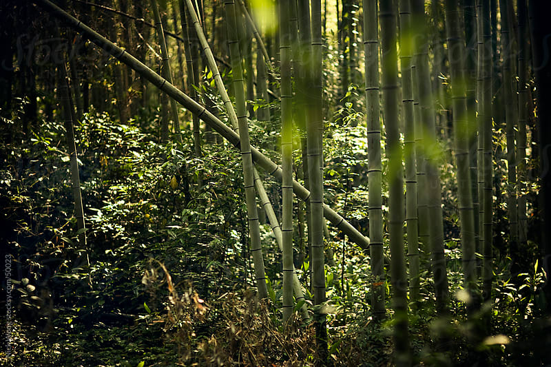 Bamboo Forest by Nick Wong for Stocksy United