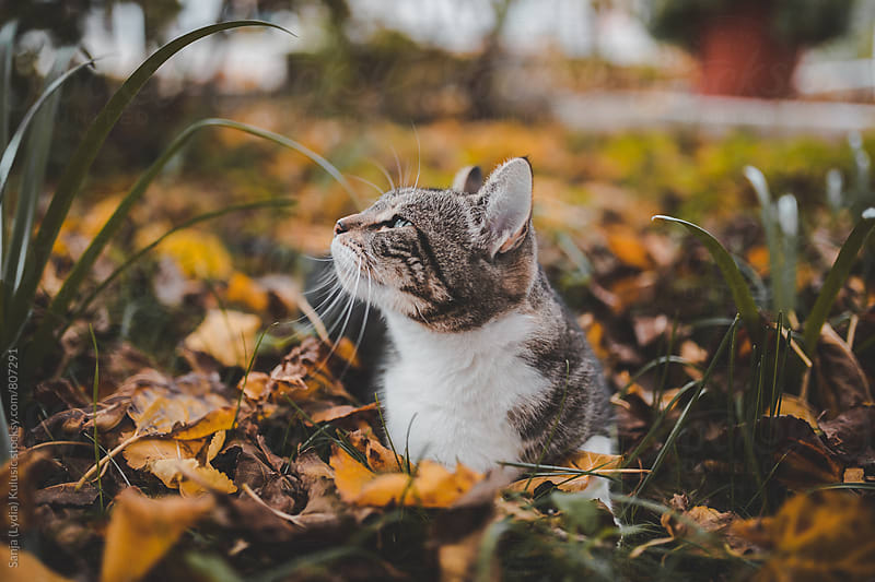 Cute cat laying in tall grass and fall wondering around by Sanja (Lydia) Kulusic for Stocksy United