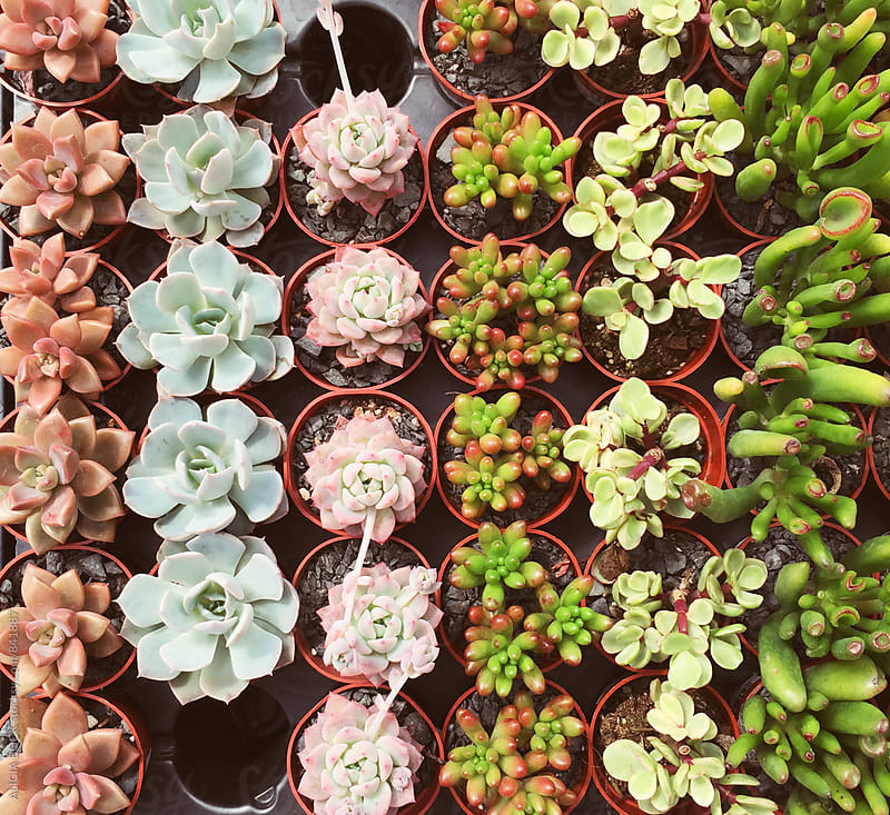A Variety Of Miniature Succulent Plants  by ALICIA BOCK for Stocksy United