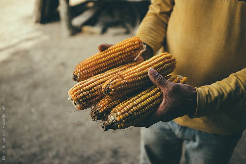 Cultivating Corn by Richard Brown for Stocksy United