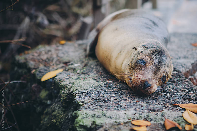 Galapagos Sea Lion Pup by Shelly Perry for Stocksy United