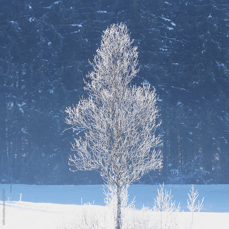 Beautiful tree covered in snow and frost by rolfo for Stocksy United
