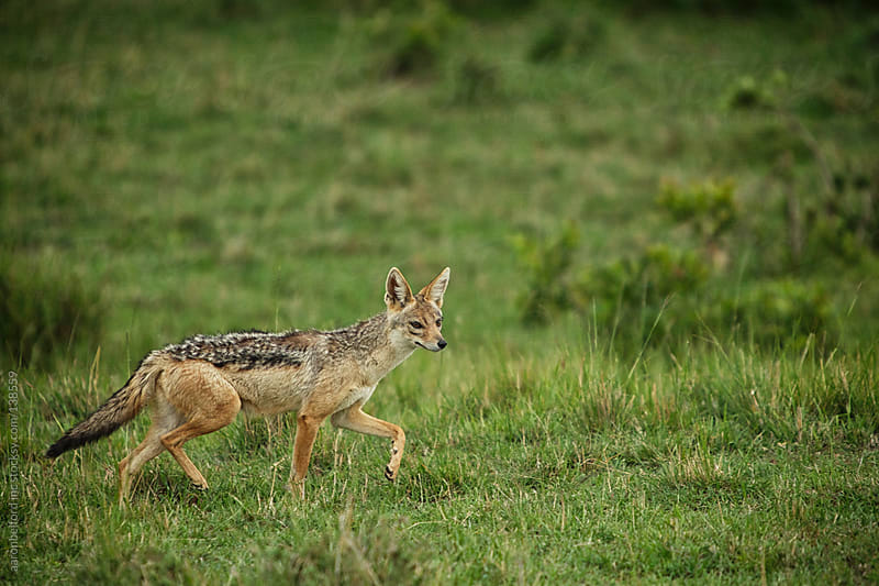 african silver back fox by aaronbelford inc for Stocksy United