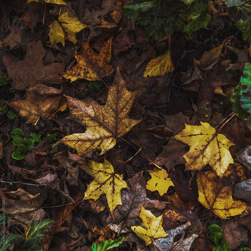 Maple leaves on ground by Luca Pierro for Stocksy United
