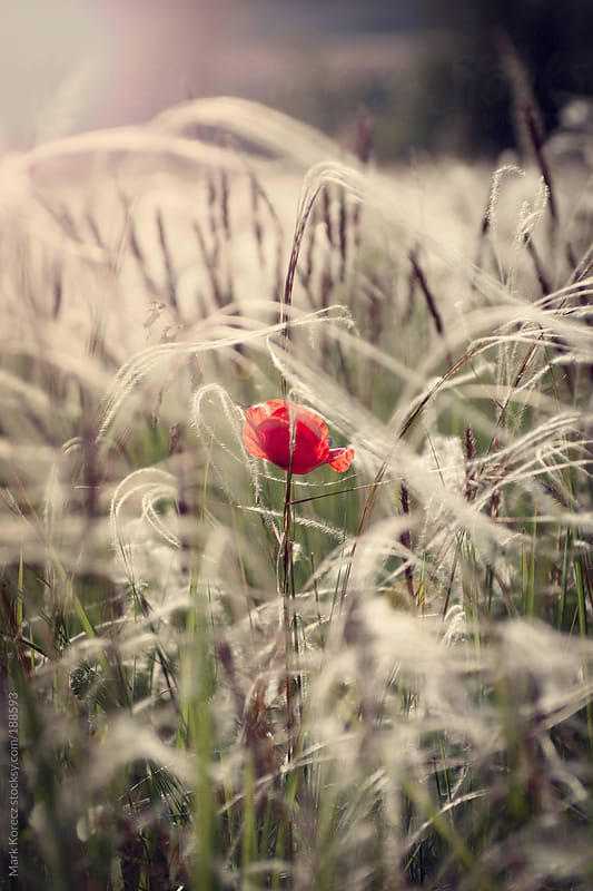 Single poppy by Mark Korecz for Stocksy United