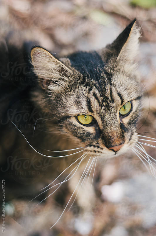 tabby cat with really long whiskers by Deirdre Malfatto for Stocksy United