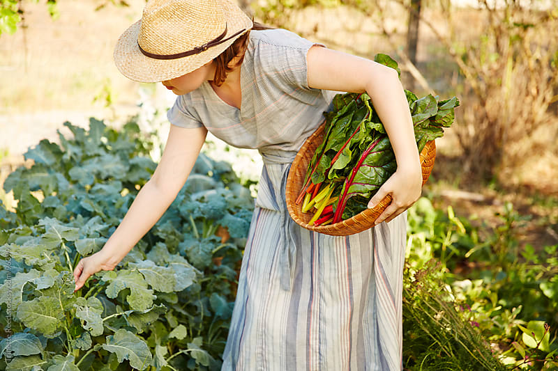 Woman farmer picking kale in her organic garden by Trinette Reed for Stocksy United