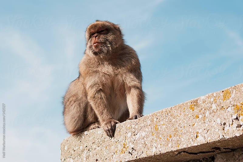 Barbary Ape by Neil Warburton for Stocksy United