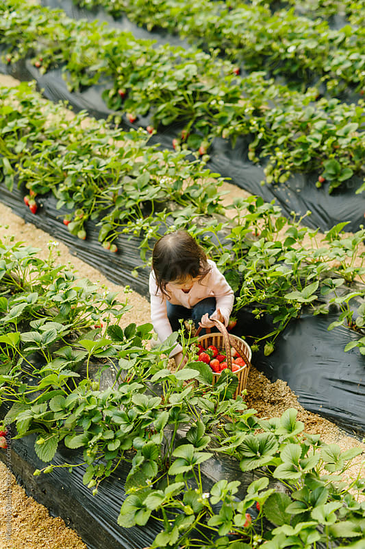 Picking strawberry by Maa Hoo for Stocksy United
