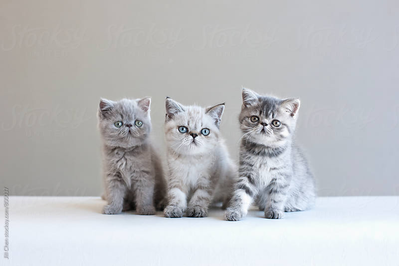 Three Kittens  by Jill Chen for Stocksy United