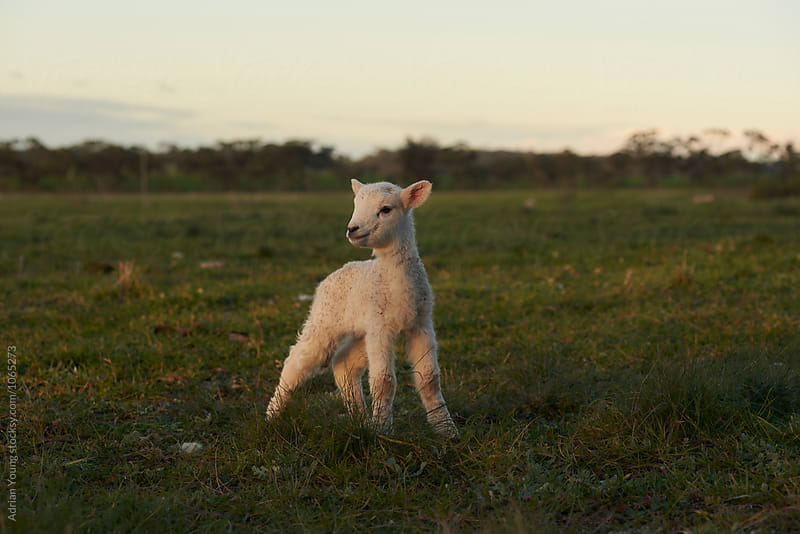 Lamb Standing In A Field by Adrian Young for Stocksy United