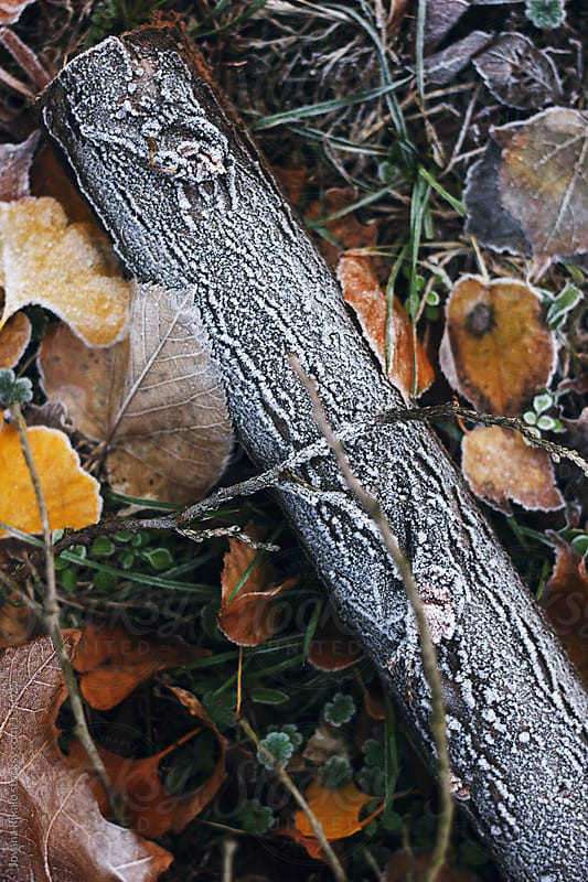 Cut off branch and leaves with frost  by Jovana Rikalo for Stocksy United