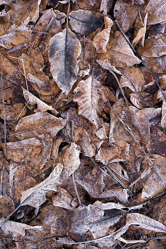 Dry frozen leaves background by Pixel Stories for Stocksy United