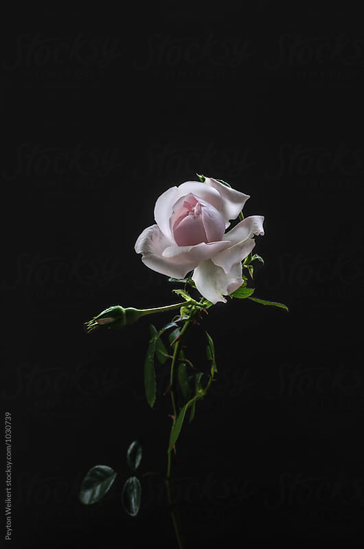 Small signle light pink rose on dark gray background by Peyton Weikert for Stocksy United