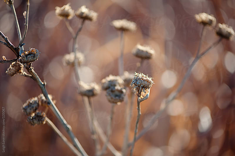 Sunflower Seeds Pods in Early Winter by Leigh Love for Stocksy United