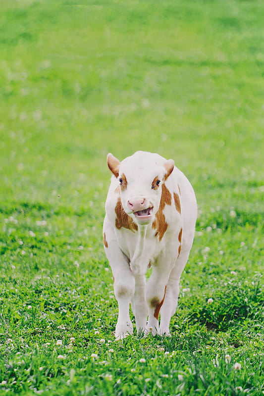 Yawing calf walking in the pasture.  by Tana Teel for Stocksy United
