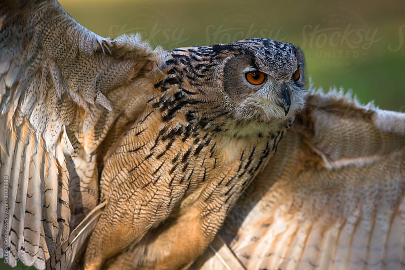 Eurasian eagle-owl (Bubo bubo) by Gabriel Ozon for Stocksy United