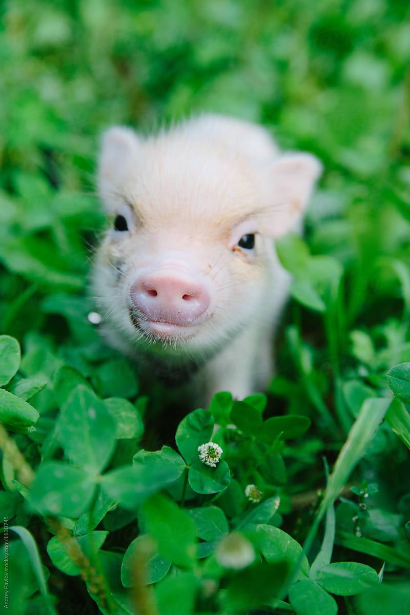 piglet pig grass stocksy pavlov andrey