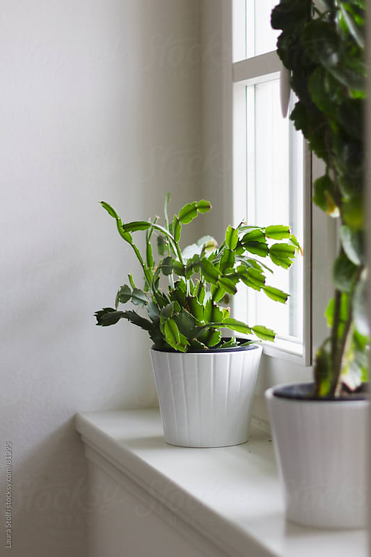 Growing plants inside home: succulents in white pots by Laura Stolfi for Stocksy United