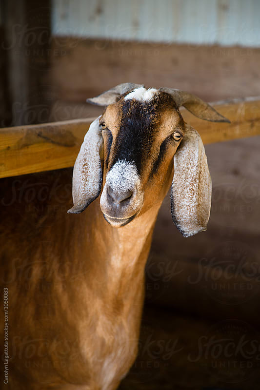 Handsome chestnut goat looking at the camera by Carolyn Lagattuta for Stocksy United
