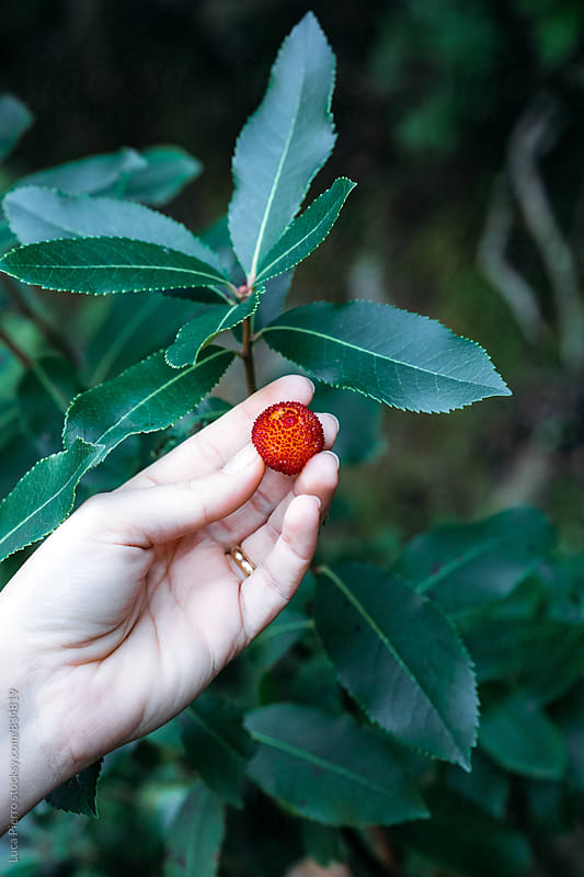 Woman holds in hands ripe berries arbutus by Luca Pierro for Stocksy United