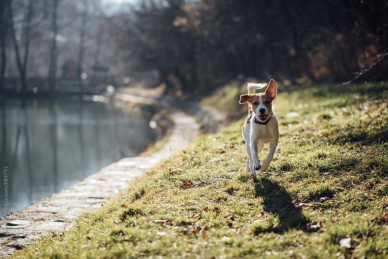 Dog running towards the camera  by Boris Jovanovic for Stocksy United