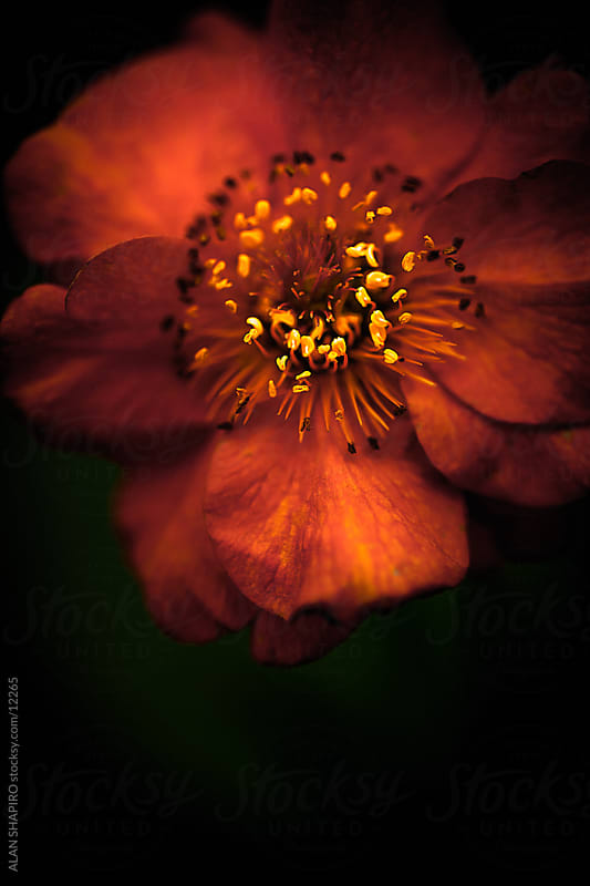 An orange Geum by alan shapiro for Stocksy United