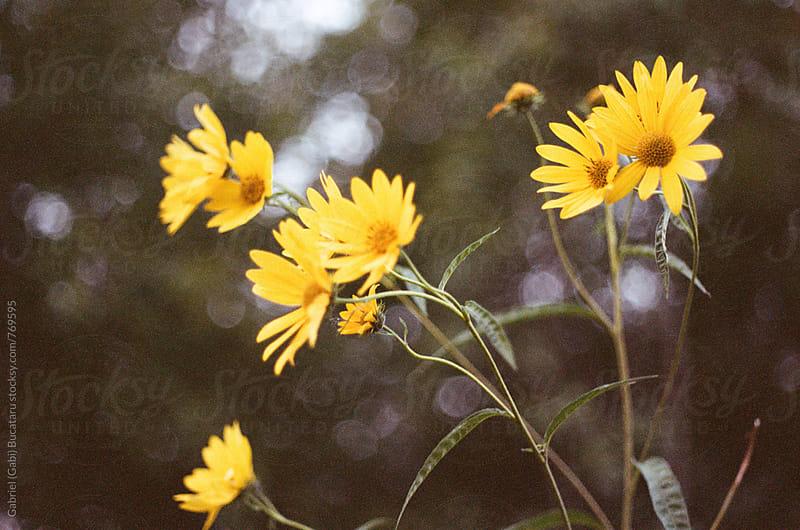 Yellow wildflowers by Gabriel (Gabi) Bucataru for Stocksy United