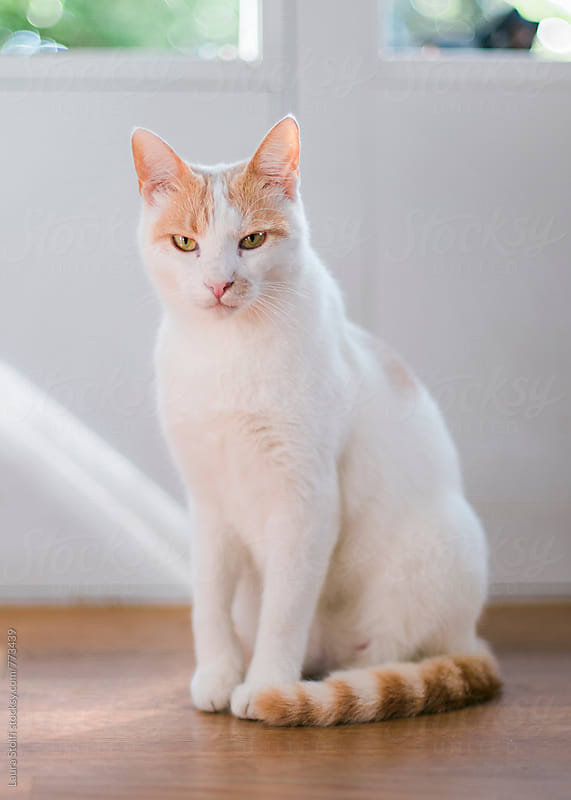 Close up of white and ginger cat looking at the camera by Laura Stolfi for Stocksy United