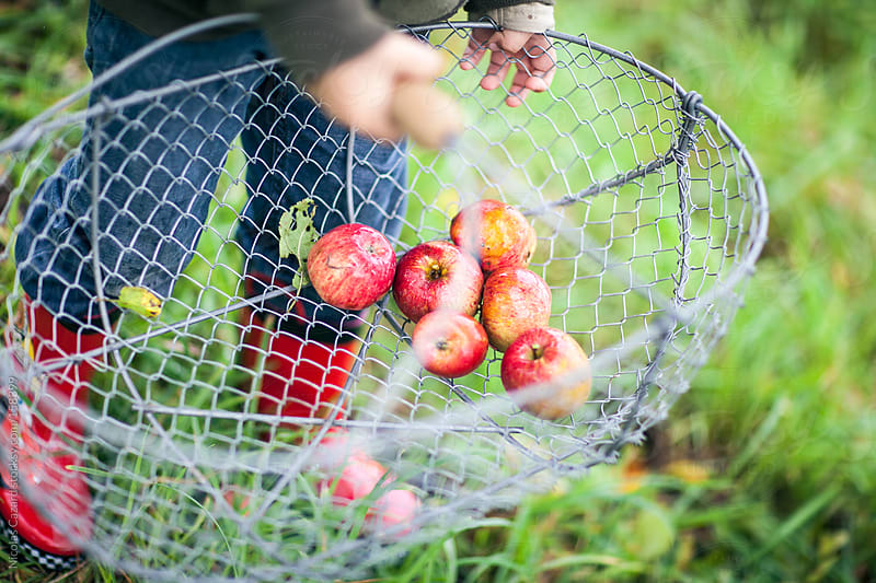 Apple picking by Nicolas Cazard for Stocksy United