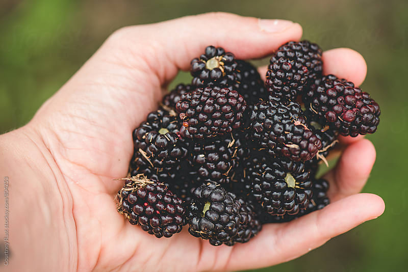 picking berries by Courtney Rust for Stocksy United