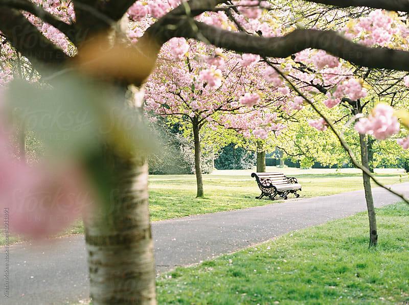 Bench in Greenwich park with cherry blossom by Kirstin Mckee for Stocksy United