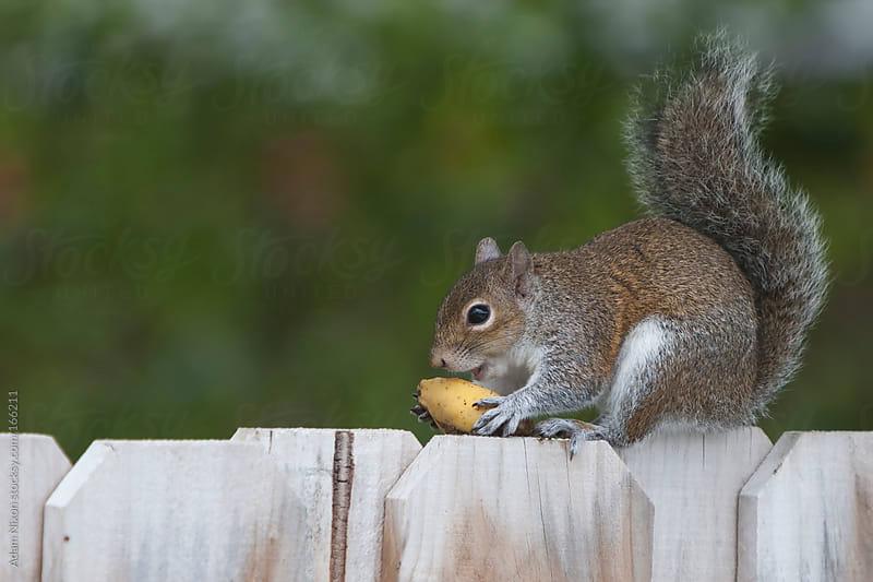 Squirrel Eating a  Banana by Adam Nixon for Stocksy United