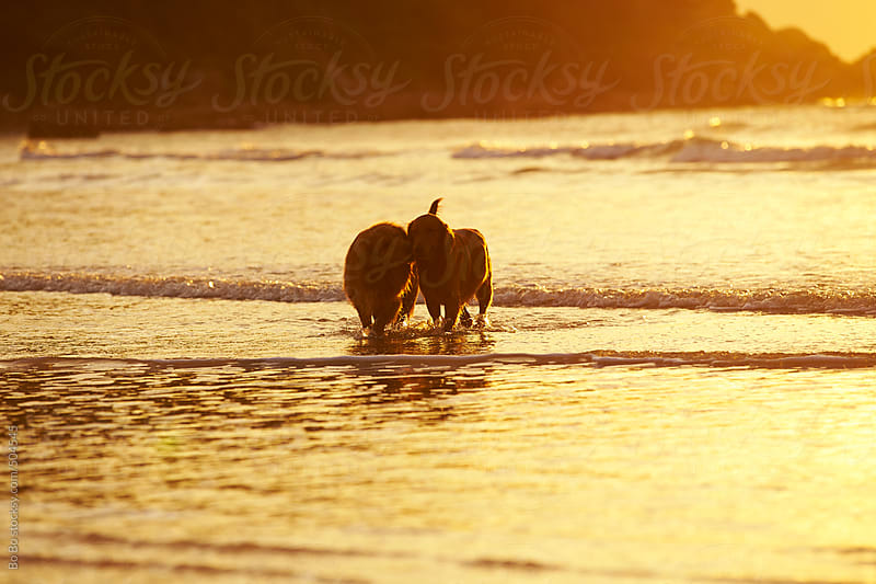 two golden retrievers walking in the morning beach by Bo Bo for Stocksy United
