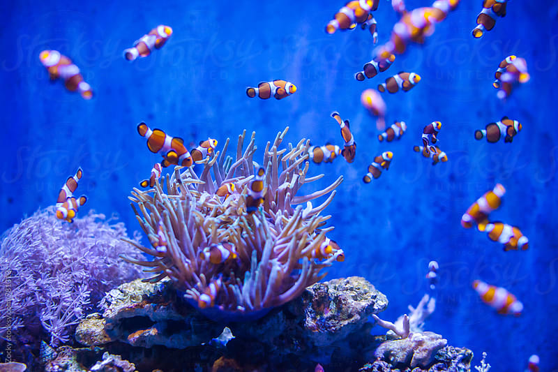 Sea anemone and clown fish by Zocky for Stocksy United