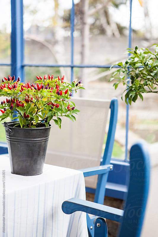 Growing chili peppers by Aleksandar Novoselski for Stocksy United