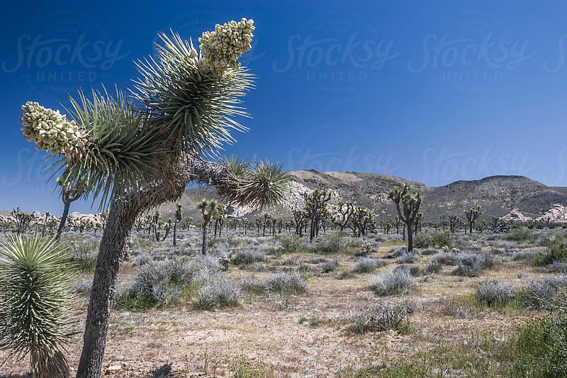 Joshua Tree National Park by Adam Nixon for Stocksy United