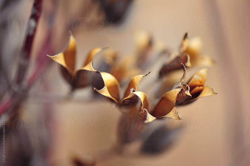 Dried Open Seed Pods of Carolina Jessamine Vine by Leigh Love for Stocksy United