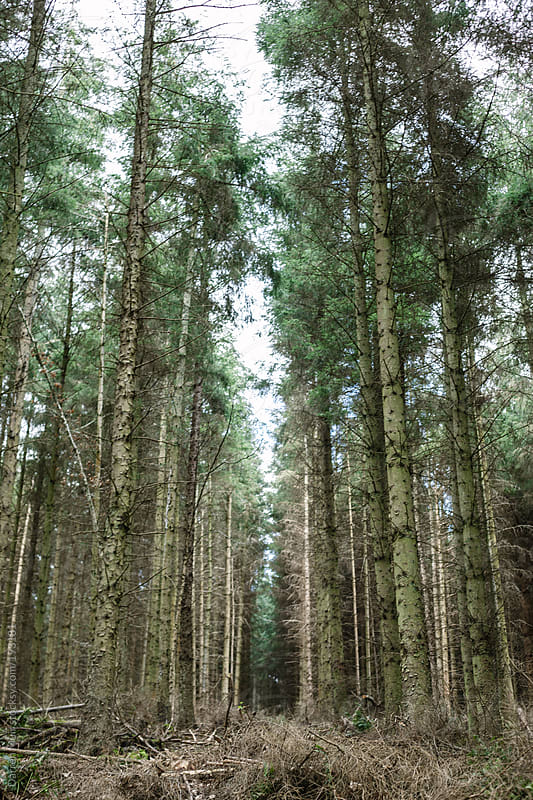 Pine Forest.  by Darren Muir for Stocksy United