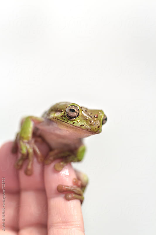 Tree frog on hand by ALAN SHAPIRO for Stocksy United